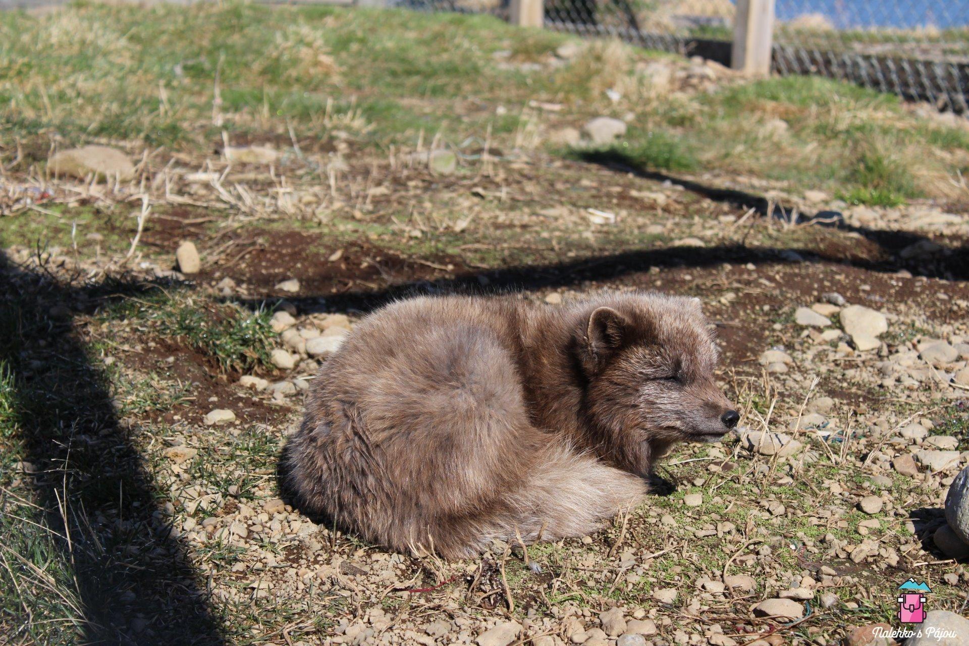 The arctic fox centre a výběh s polárními liškami