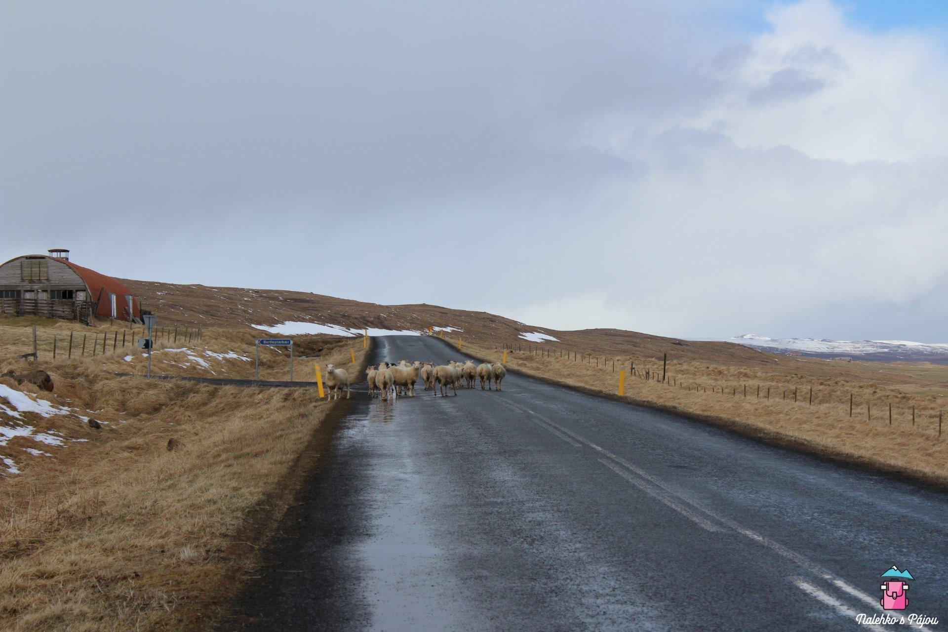Cestu nám na chvíli zatarasily i ovce