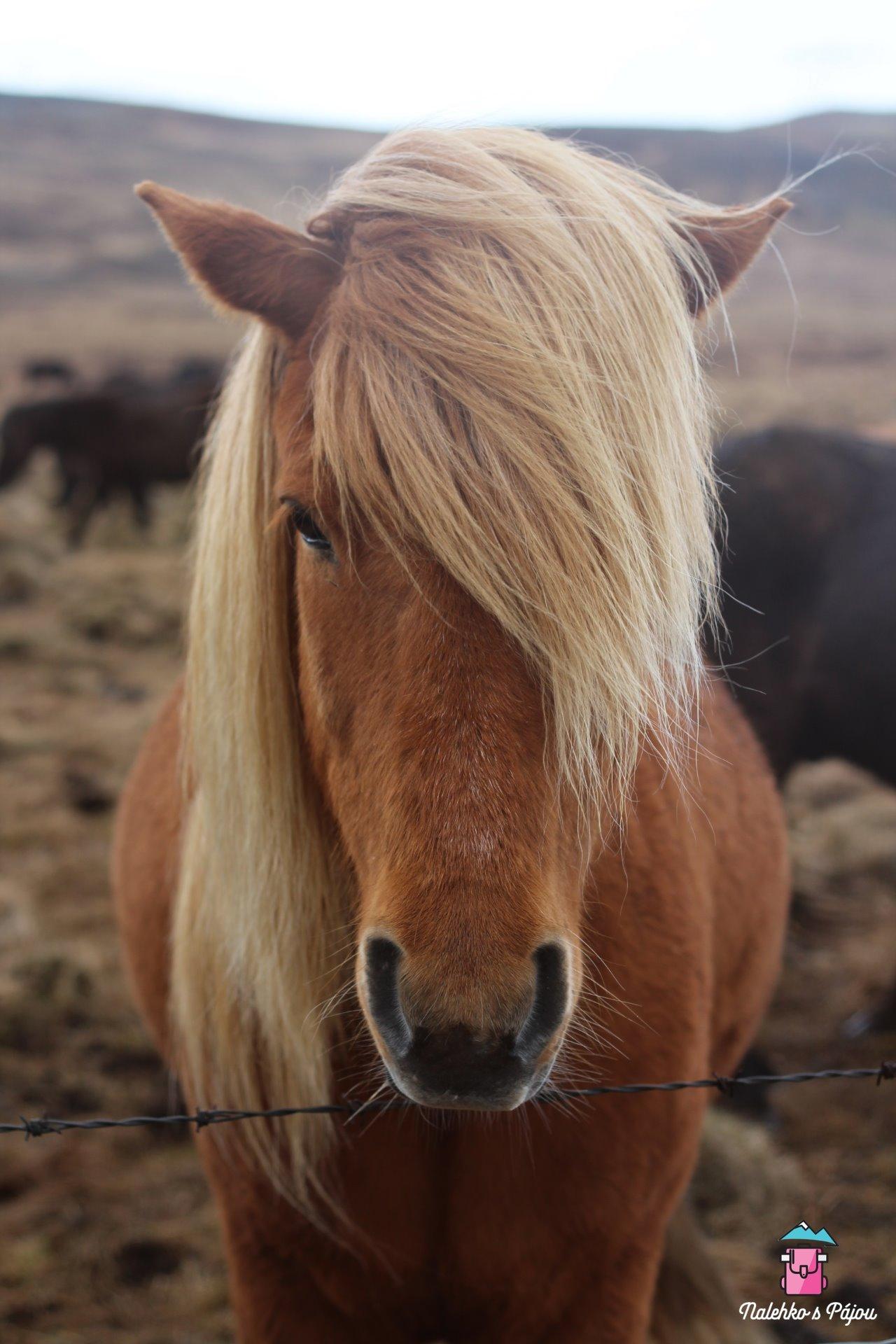 Také jsme si konečně pohladily první islandské koně